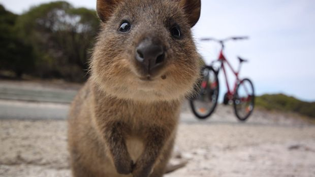 Quokka escapes Rottnest Island on garbage barge