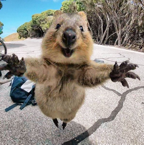 Quokka leaps at man. Man takes epic photo