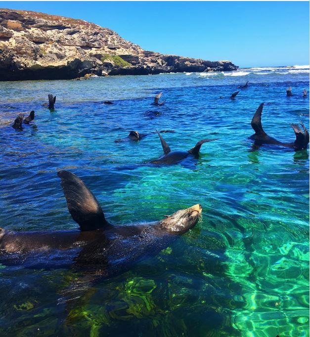 Synchronised swimming sea lions show off at stunning Rottnest Island