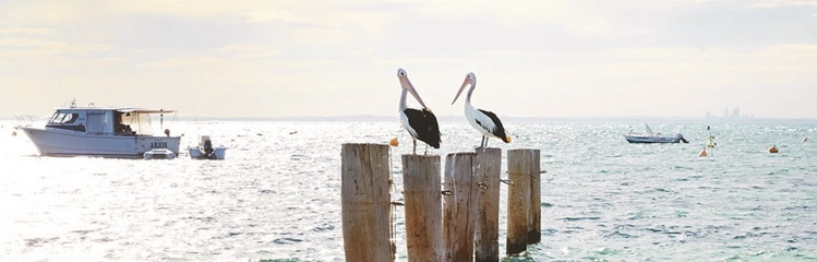 Pelicans on Rottnest Island